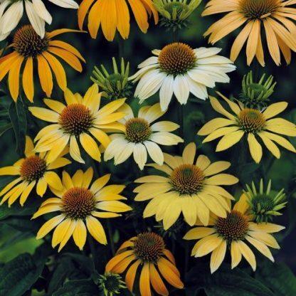 Echinacea-mellow-yellow-kasvirág