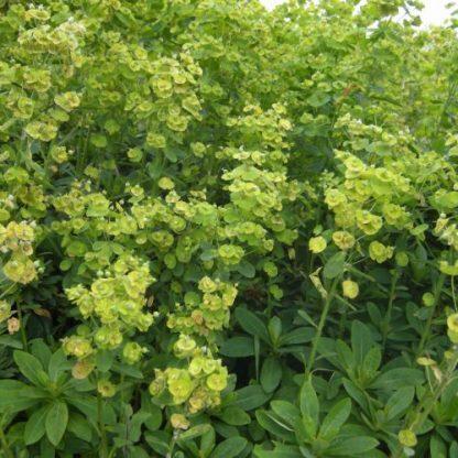 Euphorbia-amygdaloides-var-robie-totok-kutyatej