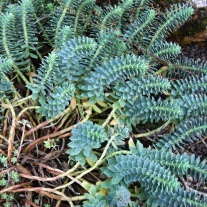 Euphorbia_myrsinites_delszaki-kutyatej