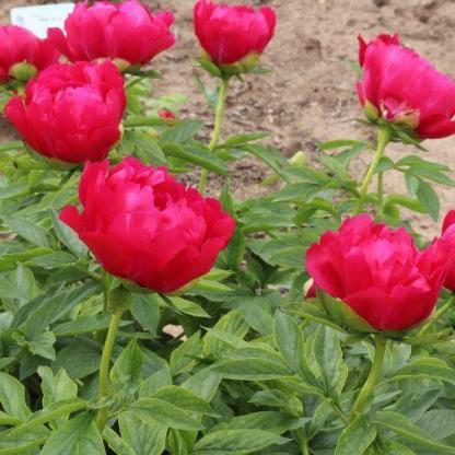 Paeonia lactiflora 'Paladin' - lágyszárú bazsarózsa