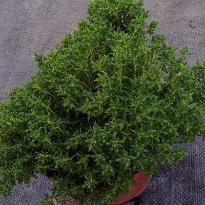 Thymus_vulgaris-compactus-kerti-kakukkfu
