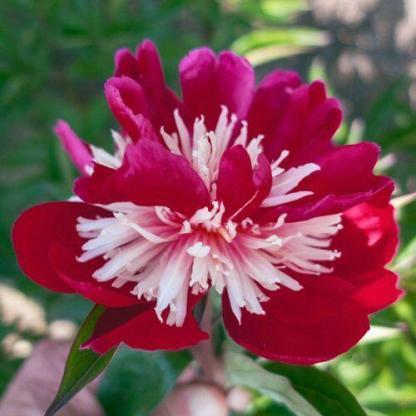Paeonia lactiflora 'Top Hat' - lágyszárú bazsarózsa