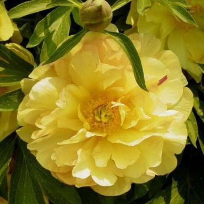 Paeonia Itoh 'Amy Jo' - Itoh bazsarózsa hibrid