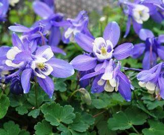 aquilegia-cameo-blue-white-haranglab
