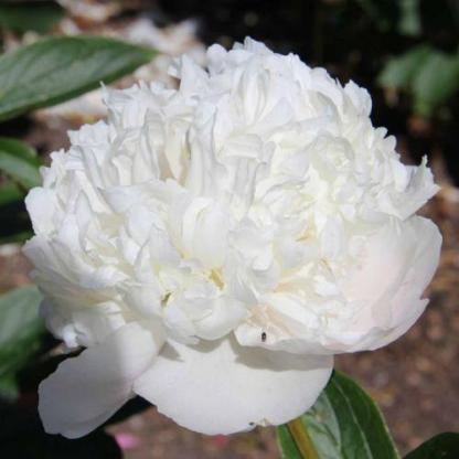 Paeonia lactiflora 'Avalanche' - lágyszárú bazsarózsa