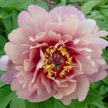 Paeonia Itoh 'Berry Berry Fine' - Itoh bazsarózsa hibrid