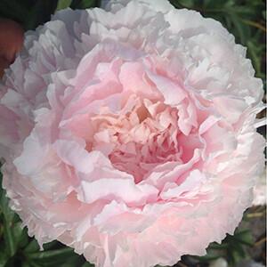 A ritkaságnak számító Paeonia lactiflora 'Chiffon Parfait' - lágyszárú bazsarózsa halvány rózsaszínű, néhol barack árnyalatú, gömb alakú virágokat hoz.