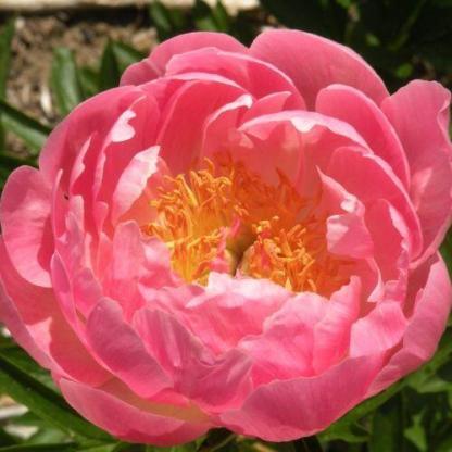 Paeonia lactiflora 'Coral Supreme' - lágyszárú bazsarózsa