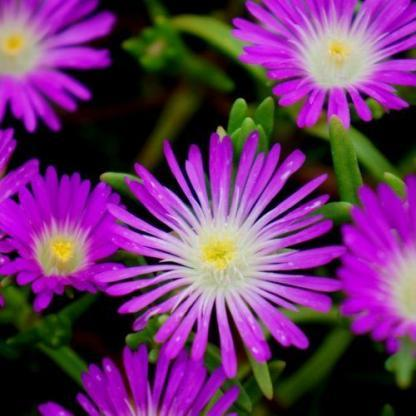 delosperma-wheels-of-wonder-purple-wonder-delvirag