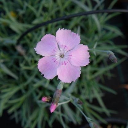 dianthus-gratianopolitanus-asnelliken-punkosdi-szegfu