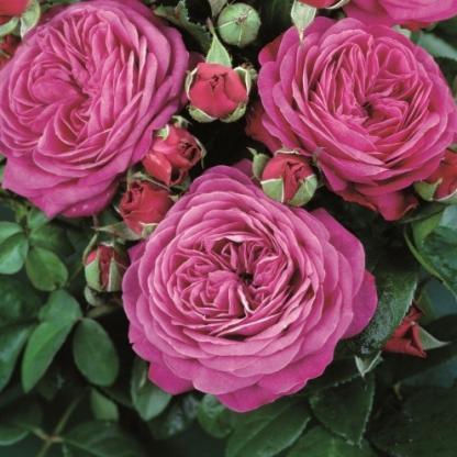 Heidi Klum lilás rózsaszín miniatúr rózsa