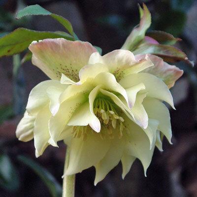 helleborus-king-double-creme-hunyor