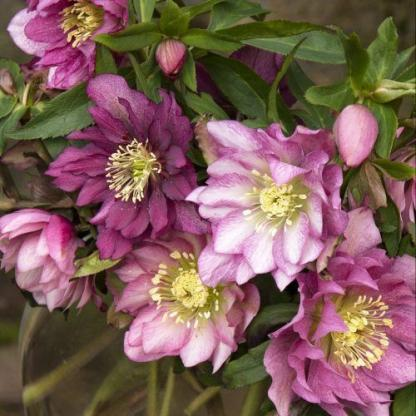 helleborus-king-double-dark-pink-hunyor