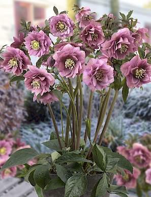 helleborus-king-double-pink-hunyor