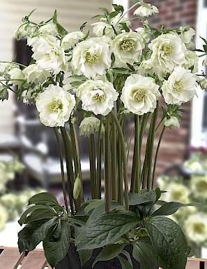 helleborus-king-double-white-hunyor