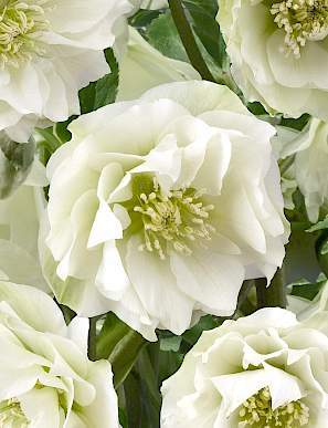 helleborus-king-double-white-hunyor2