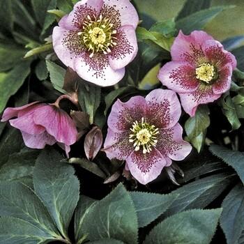 helleborus-king-pink-spotted-hunyor