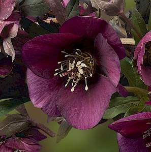 Helleborus King™ Red® - keleti hunyor 1 A <strong>Helleborus King™ Red® - keleti hunyor </strong>népszerű fajta, a hosszú szárakon bőségesen hozza sötét bíbor virágait <ul> <li><em>Kiszerelés: 9x9 cm-es cserépben </em></li> </ul>