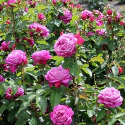 Heidi Klum lilás rózsaszín miniatúr rózsa.