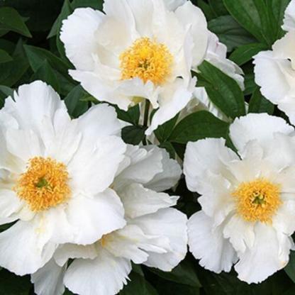 Paeonia lactiflora 'Krinkled White' - lágyszárú bazsarózsa