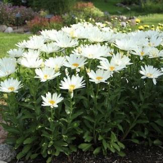 leuchanthemum-western-star-libra-margareta