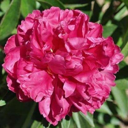 Paeonia lactiflora 'Louise van Houtte' - lágyszárú bazsarózsa