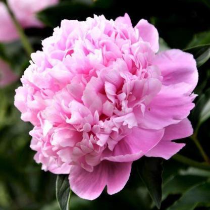 Paeonia lactiflora 'Monsieur Jules Elie' - lágyszárú bazsarózsa
