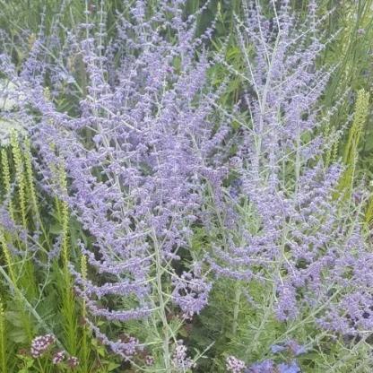 perovskia-atriplicifolia-blue-spritzer-sudarzsalya