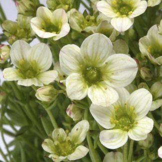 saxifraga-arendsii-touran-lime-green-kőtörőfű2