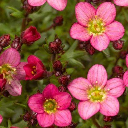 saxifraga-arendsii-touran-pink-kőtörőfű