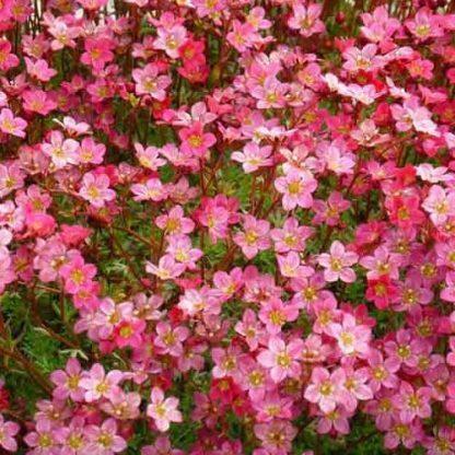 saxifraga-arendsii-touran-pink-kőtörőfű2