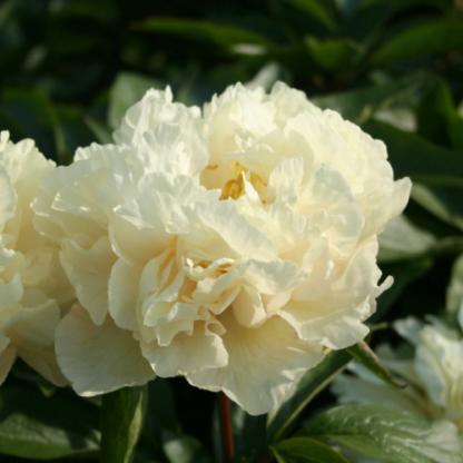 Paeonia lactiflora 'Sunny Girl' - lágyszárú bazsarózsa