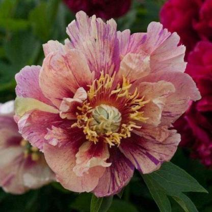 Paeonia Itoh 'Anderson's Kaleidoscope' - Itoh bazsarózsa hibrid