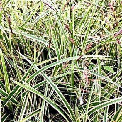 Carex_Morrowii_Vanilla_Ice-tarka-sás