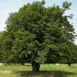 Carpinus-Betulus-közönséges gyertyán-fa