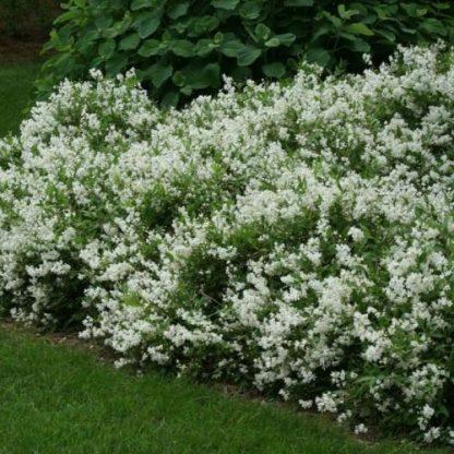 Deutzia-gracilis-Nikko-gyöngyvirágcserje2