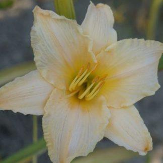 Hemerocallis Aletta-sásliliom
