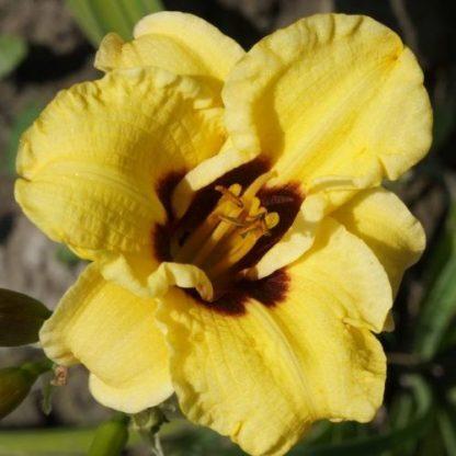 Hemerocallis Bumble Bee-sásliliom