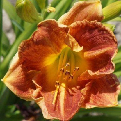 Hemerocallis Csenge-sásliliom