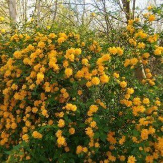 Kerria-jap-pleniflora-boglárkacserje