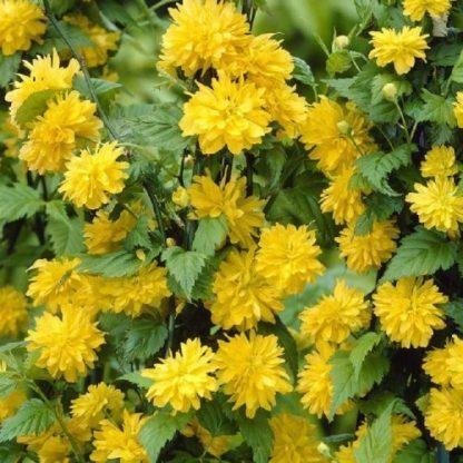 Kerria-jap-pleniflora-boglárkacserje2
