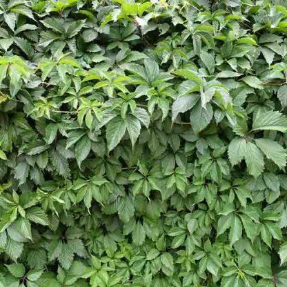 Parthenocissus+Quinquefolia-tapadó-vadszőlő2