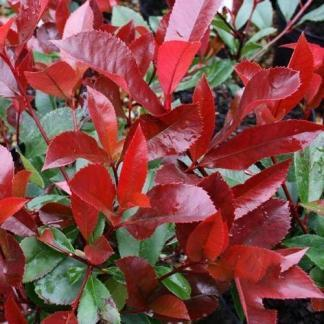Photinia-x-fraseri-Red-Robin