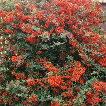 Pyracantha Red Column Tűztövis