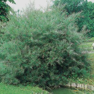 Salix-elaeagnos-angustifolia-keskenylevű-fűz
