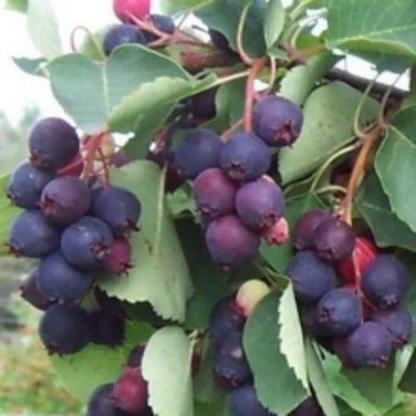 amelanchier-alnifolia-martin-egerlevelu-fanyarka