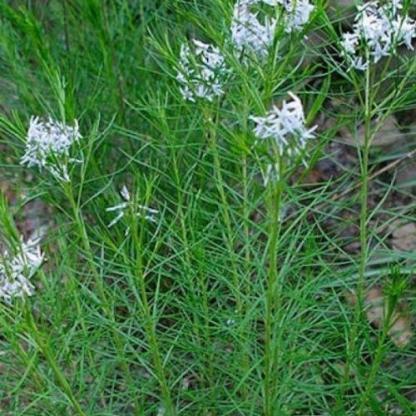 amsonia-hubrichtii-arkansasi-csillagmeteng
