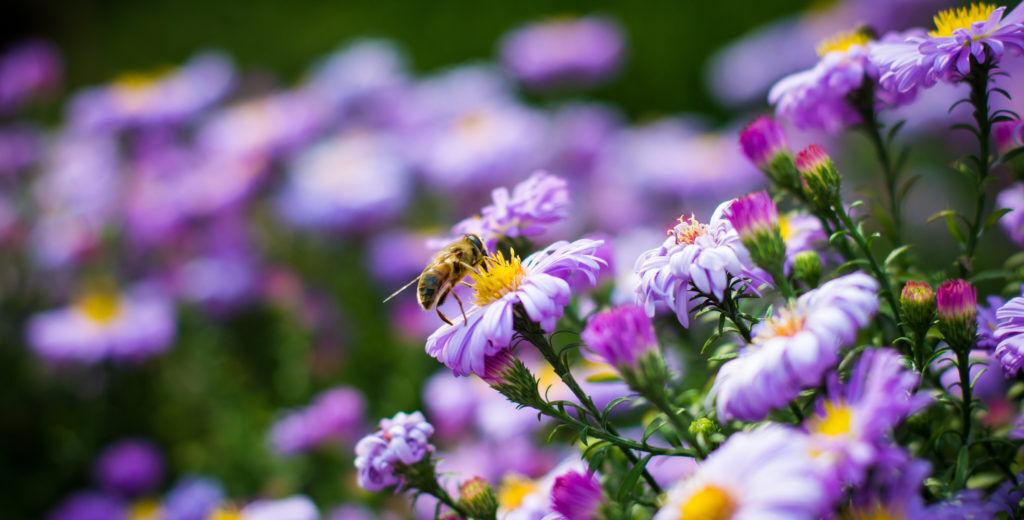 méhlegelő növények