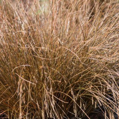 carex-flagellifera-bronzita-ostoros-sás