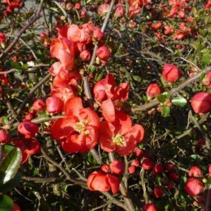 chaenomeles-superba-red-trail-japan-diszbirs2